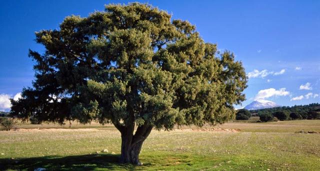 Enebro, de la familia cupressaceae, en biologia
