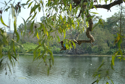 Picture of A Kingfisher perches on a tree in Rabindra Sarobar, Kolkata.