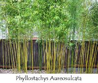 Bamboo Plant2
