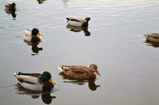 nature, wildlife, green lake park, seattle, ducks, photography