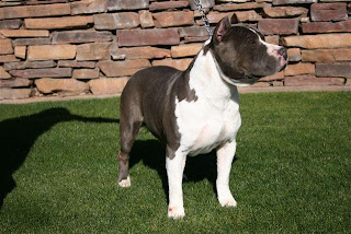American Staffordshire Terrier Puppy