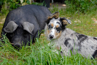 dog and pig friends