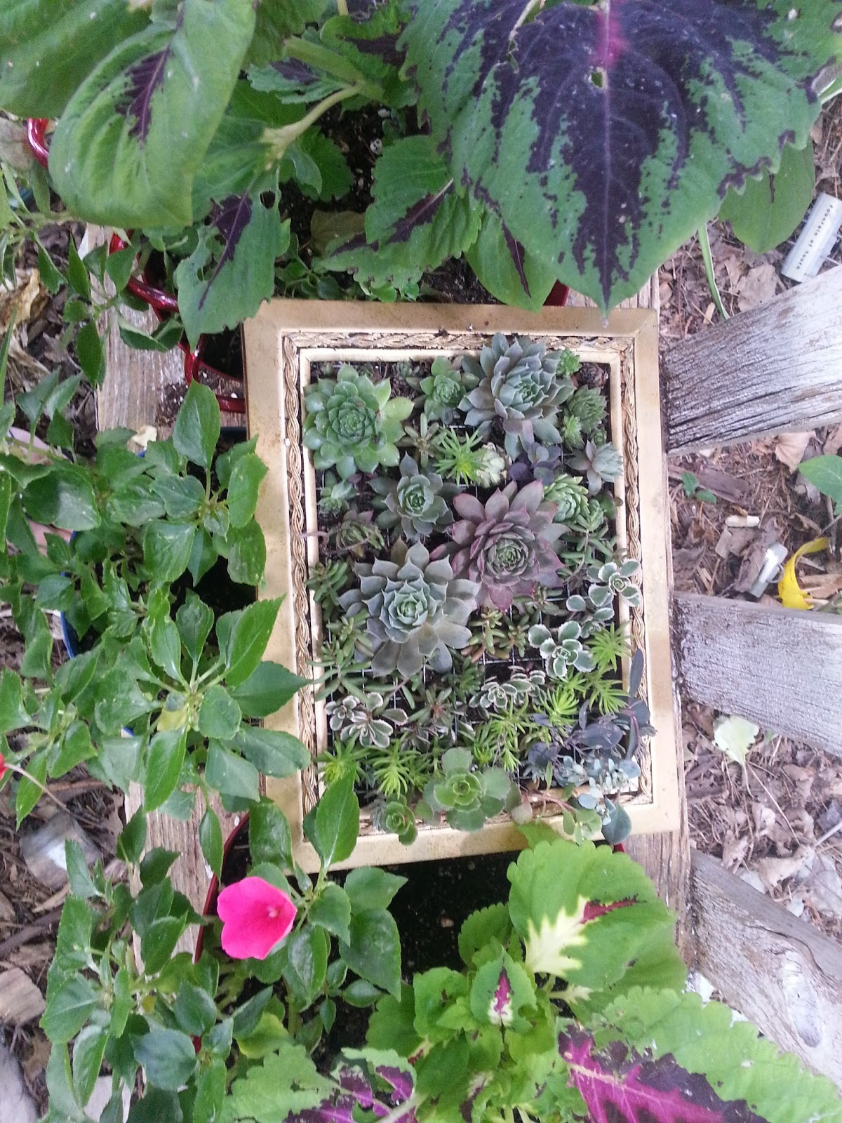 Cheesehead gardening succulent picture frames from goodwill find then set picture frame in shade for a few weeks while cuttings take root jeuxipadfo Image collections