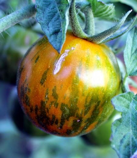 Homegrown garden tomato harvest: Green Grape tomatoes