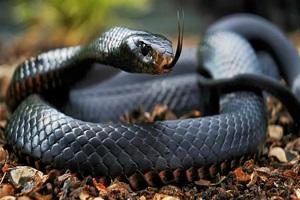 Otto serpenti pi velenosi del mondo for Serpente nero italiano