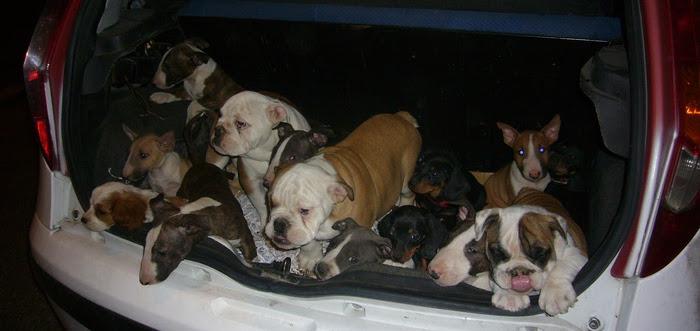 Maxi sequestro cuccioli di cane: 27 chiusi nel bagagliaio