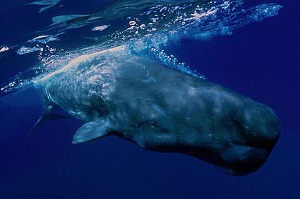 life of sea dwarf sperm whale kogia sima pygmy sperm whale is one of    Dwarf Sperm Whale