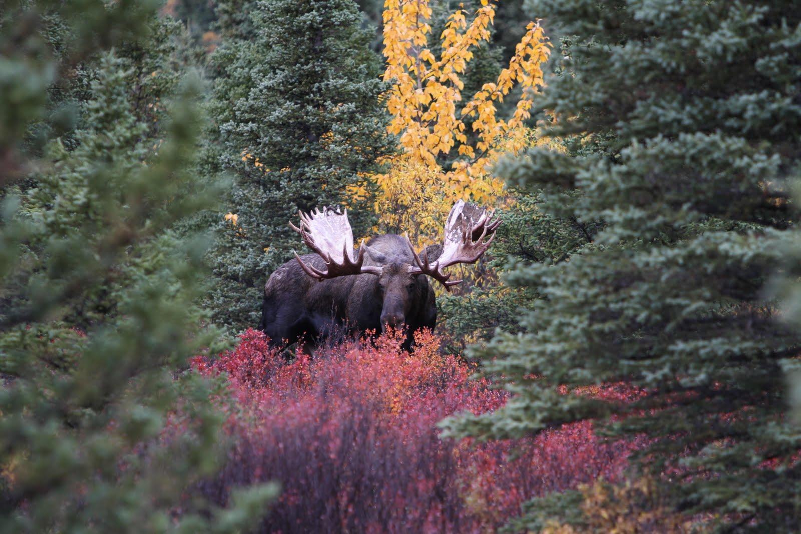 biggest moose - photo #6