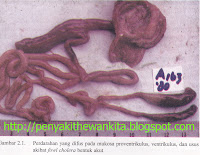 gambar kolera unggas/ayam