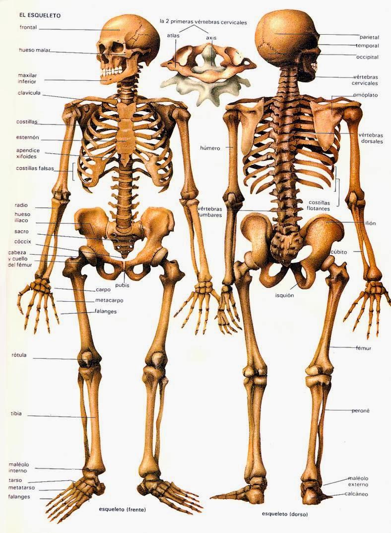 MaroMTB: Anatomía: Musculatura y esqueleto