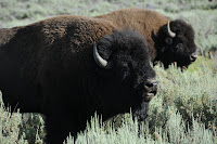 Photo of a really big buffalo