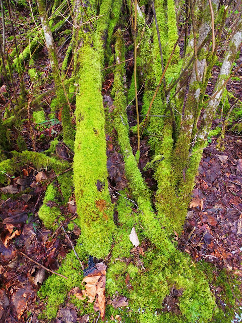 mossy trees - Derby's Reach, Langley, BC Canada