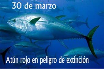 El atún rojo en peligro