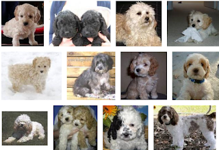 Cockapoo Puppy Breeders