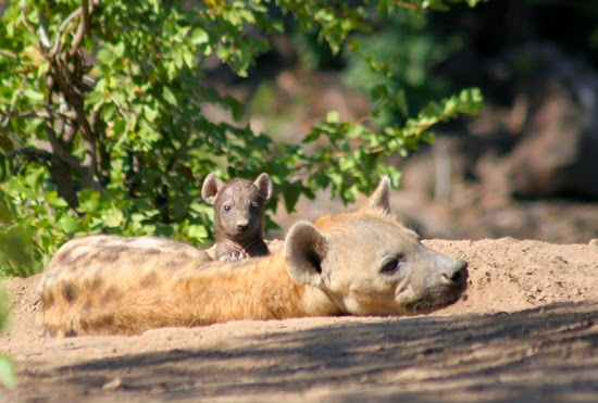 Safari Fusion blog | Happy Mother's Day | Hyena with her tiny cub, Mashatu Game Reserve Botswana © Kellie Shearwood