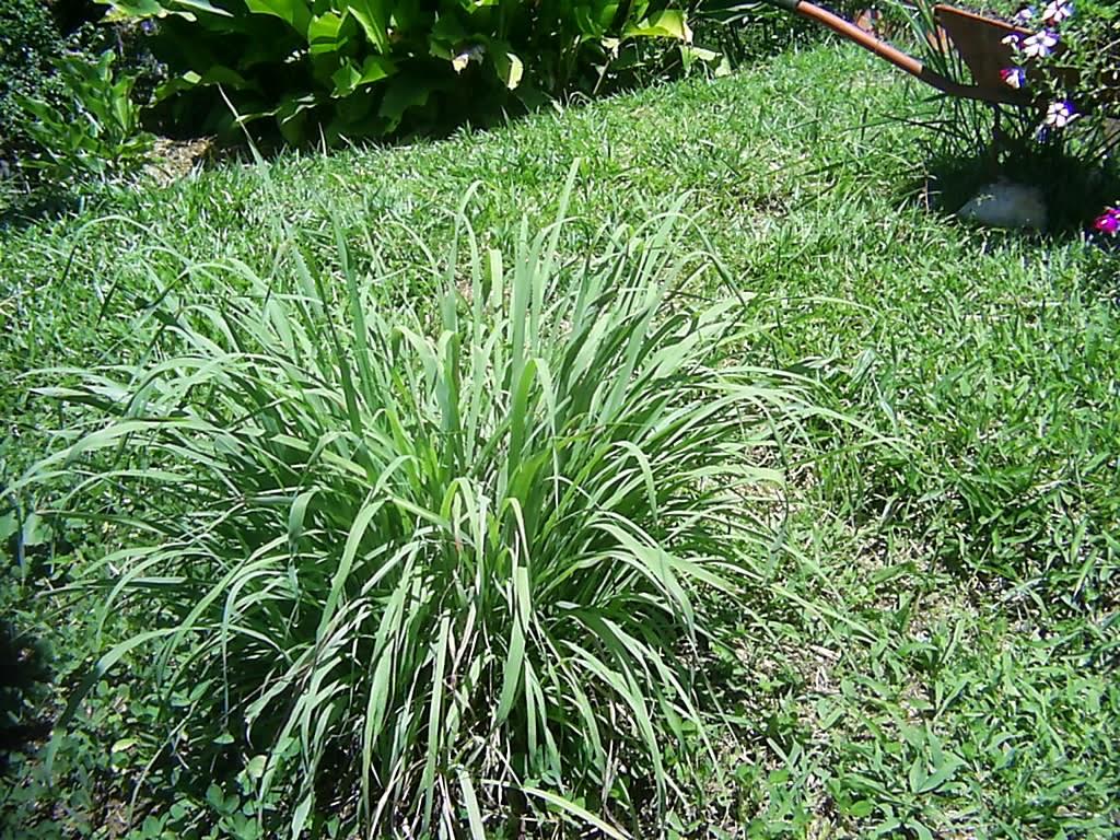 Plantas curativas y medicinales para c licos biliares y - Hierba luisa en maceta ...