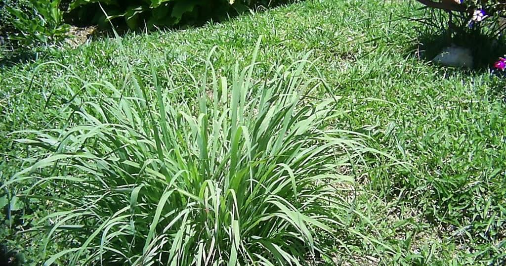 Plantas curativas y medicinales para c licos biliares y for Salsa de hierba luisa