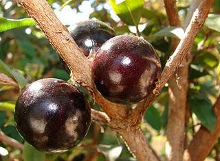 Jabuticaba - Pohon Berbuah Unik Dengan Sejuta Manfaat