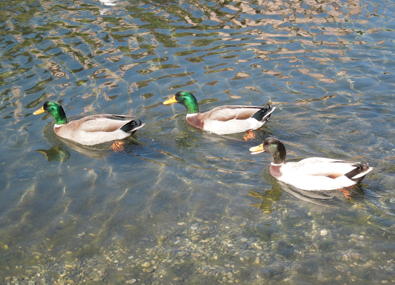 Venice Canals ducks