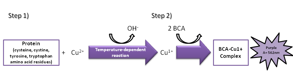 bradford protein asssay Oxidative stress in arabidopsis thaliana exposed to cadmium is  protein content was determined according to the method of bradford  ca thorneasssay of.