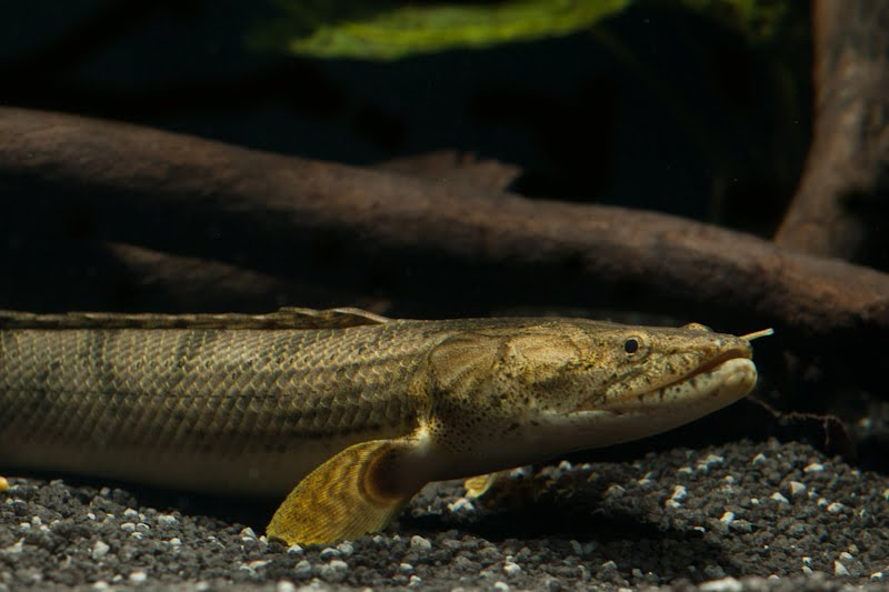 my quest for predatory amp oddball fishes polypterus