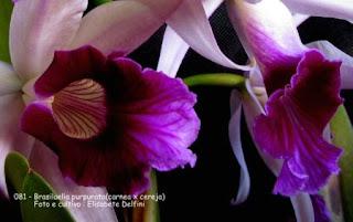 Brasilaelia purpurata (carnea x cereja) do blogdabeteorquideas