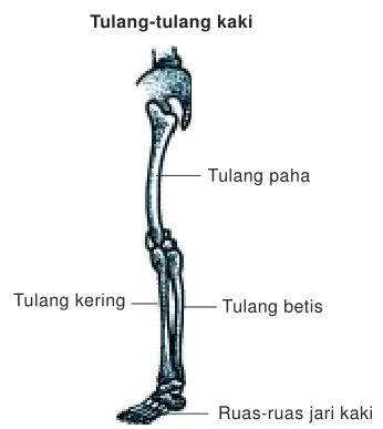 Struktur Rangka Manusia, tulang kaki