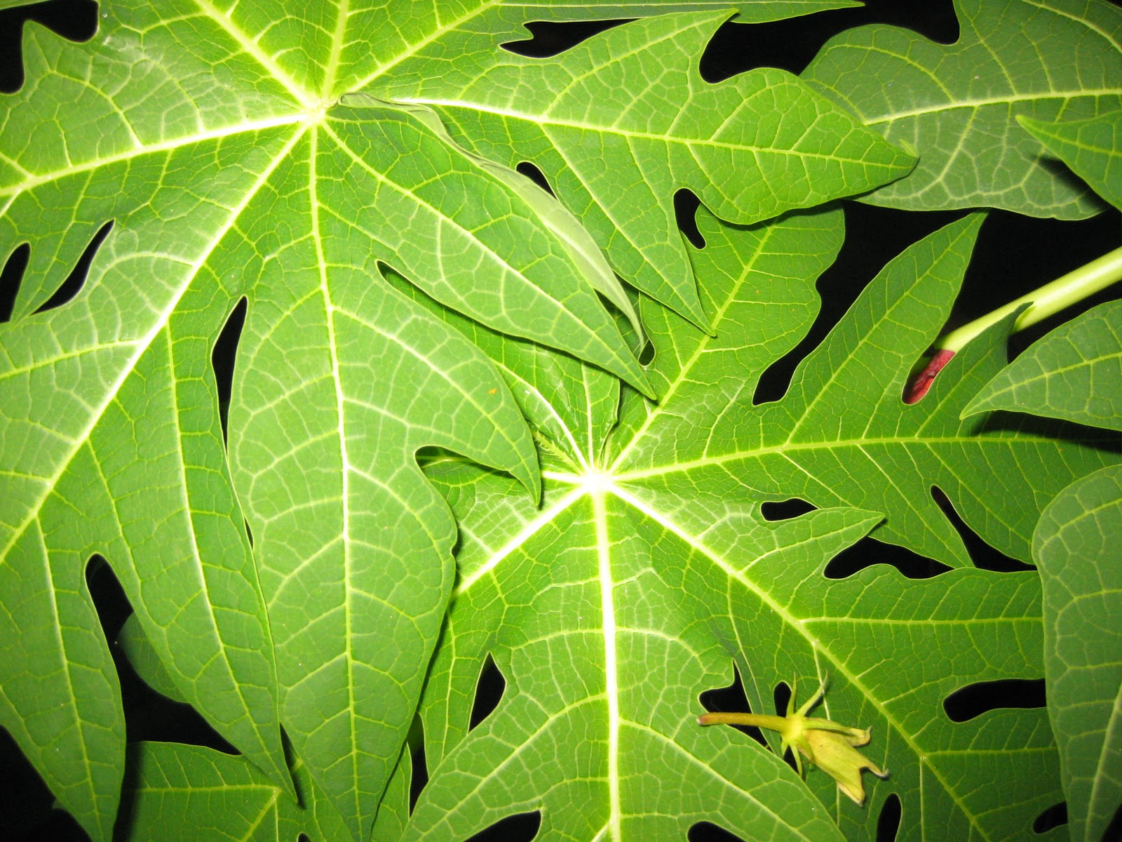 papaya tree leaf - photo #18