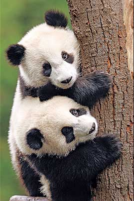 Most Amazing Almost Extinct Animals Giant Panda