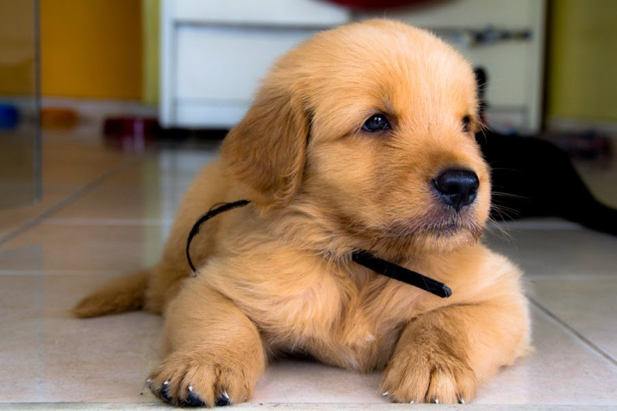 Important Golden Retriever Puppy Pictures