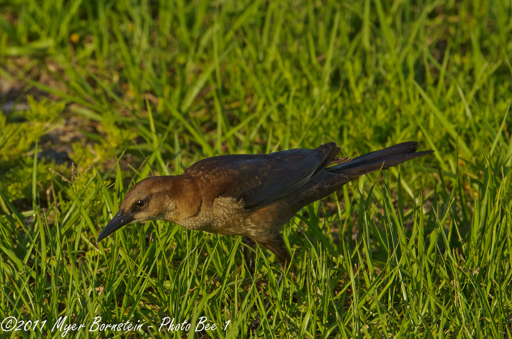 common grackle female. female common grackle. female