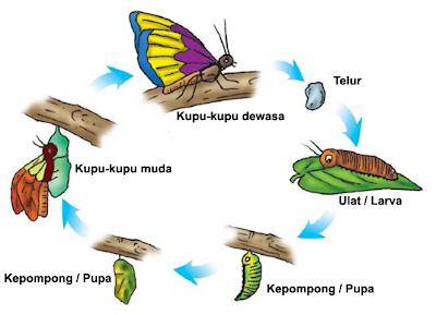 Proses Metamorfosis Kupu-kupu   Adhitya Nugraha Novianta