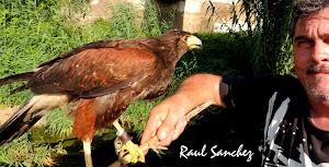 Aguila Harrys