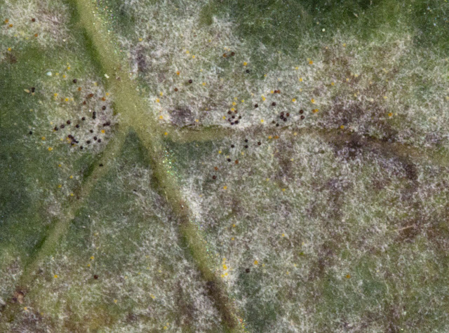 Oak Powdery Mildew, Microsphaera alphitoides (or Erysiphe alphitoides).  Fruiting.  Farningham Wood, 2 October 2011.