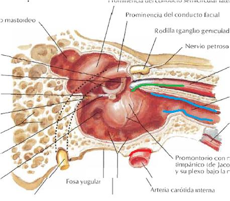 Anatomía del Oído: Oído Medio ~ Audiología didáctica para estudiantes