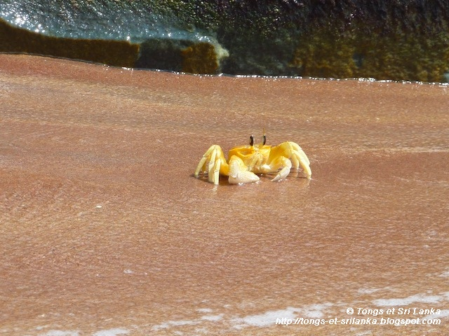 le crabe de Tangalle