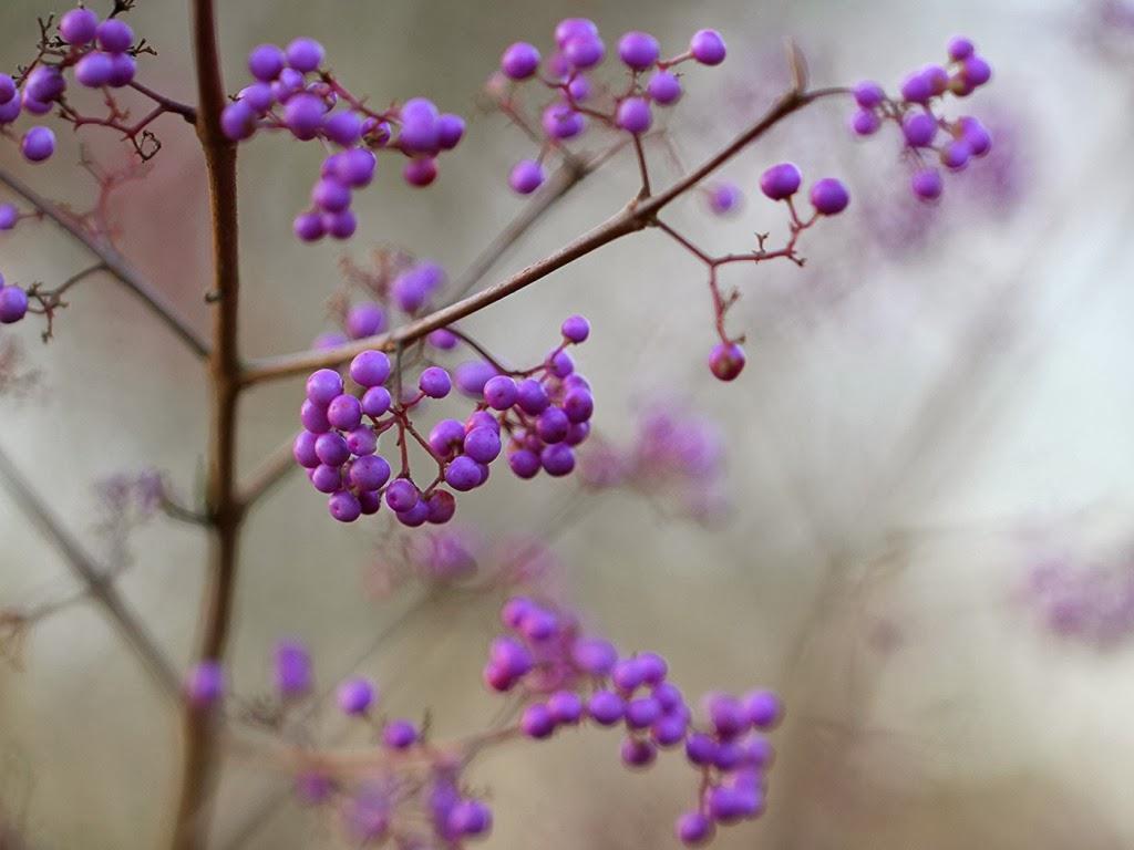 """<img src=""""http://4.bp.blogspot.com/-tViKq370wMk/Ut5AJeQxy-I/AAAAAAAAJfU/SrptJ2FWBVo/s1600/beautyberry.jpeg"""" alt=""""beautyberry"""" />"""