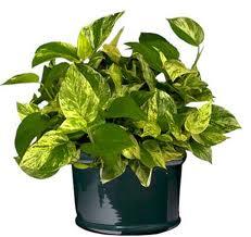 poto (Epipremnum aureum)
