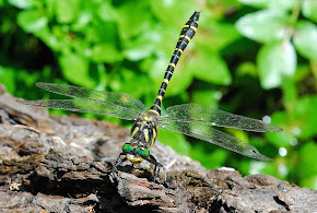 Golden-ringed Dragonfly male