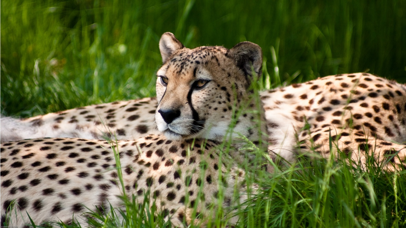 Name : Cheetah; Author : Adnan