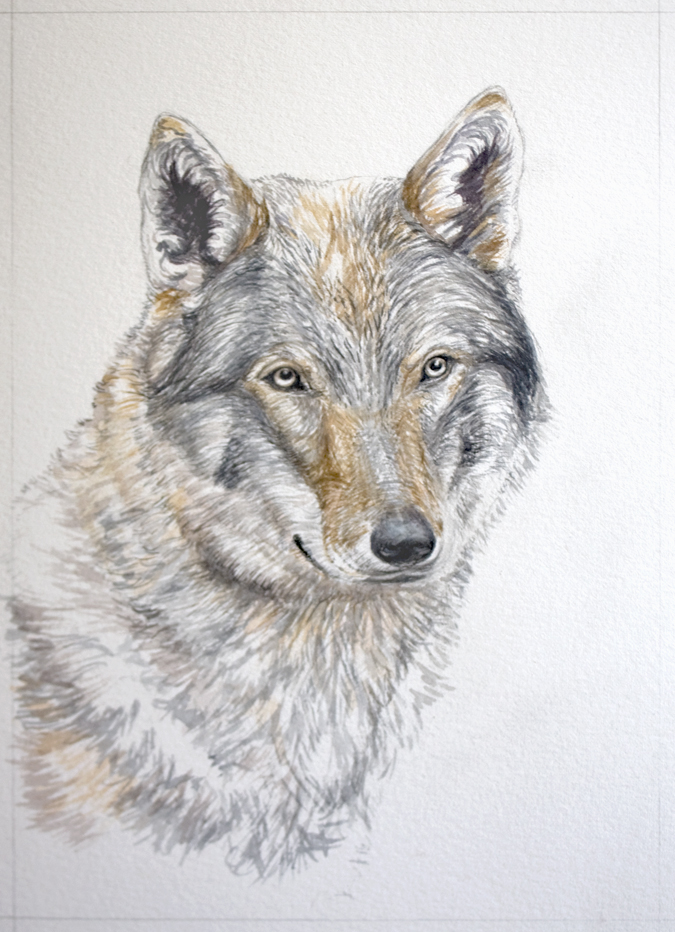 Sketching In Nature Portrait Of A Wolf