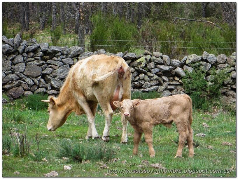 La vaca y la ternera, tuvimos que cruzar por su salón.