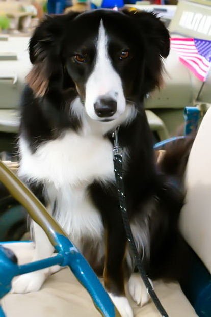 Border Collie Haworth