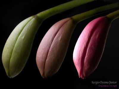 Botão floral da mini-orquídea Laeliocattleya Mini Purple