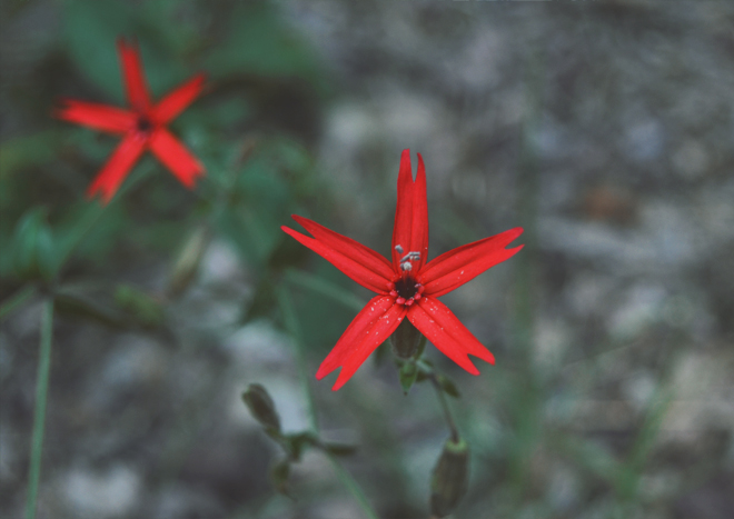 The Flying Clubhouse: June Catchfly // fire pink