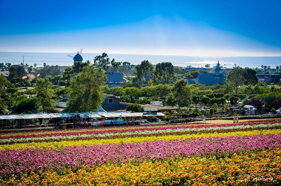 32. The Flower Fields in Carlsbad, CA by Jack Wang