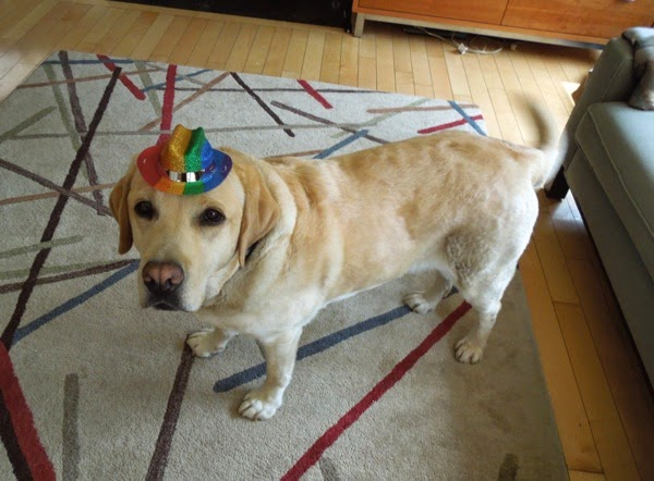 Yellow Labrador Cooper 6th Birthday