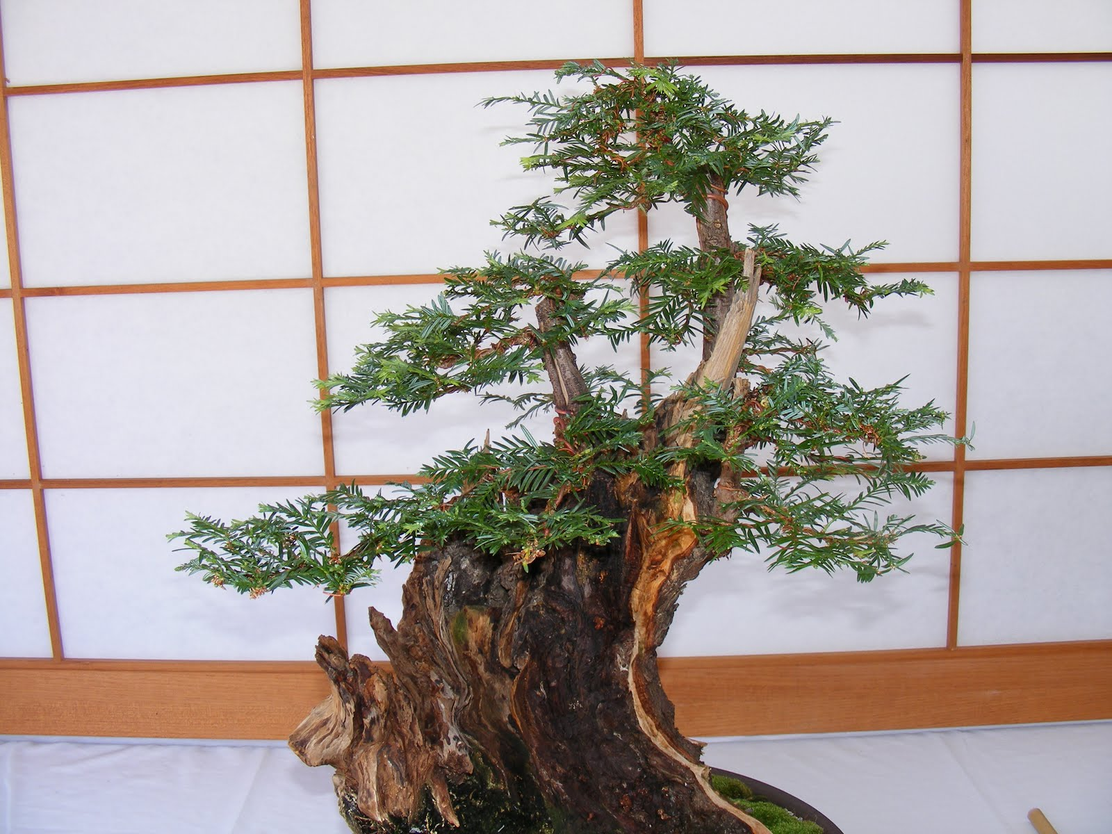 Musings By Dr Pegler Bonsai As Spiritual Lesson