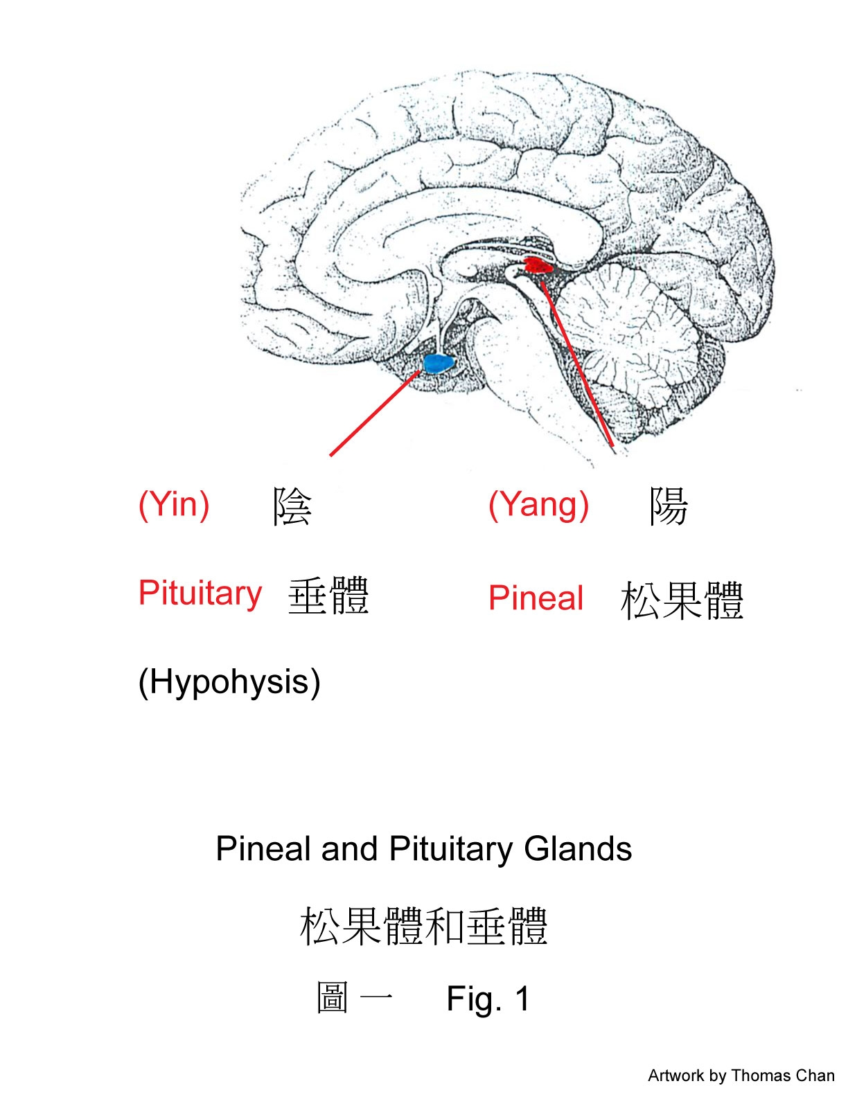 emotional brain: meditation – ventricles and limbic system – dao and