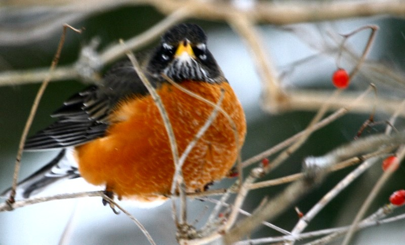 nature tales and camera trails: Seven American Robins for ...